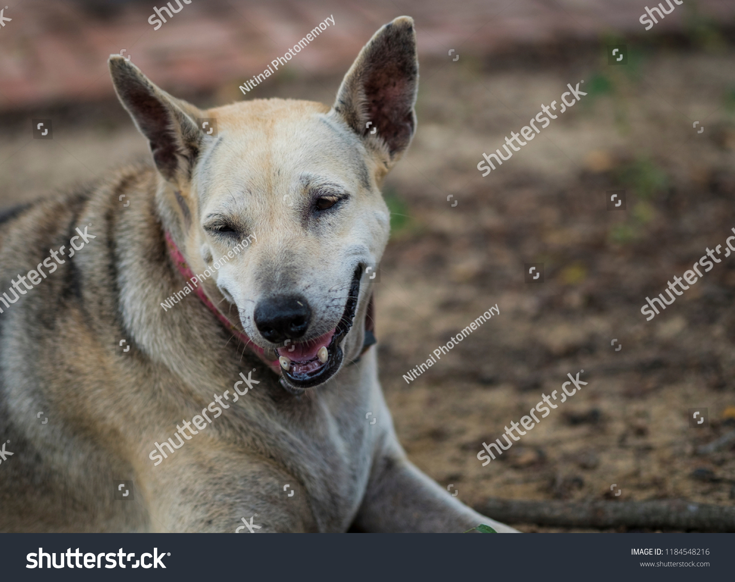 Cute Dog Smiling On Ground Background Stock Photo Edit Now