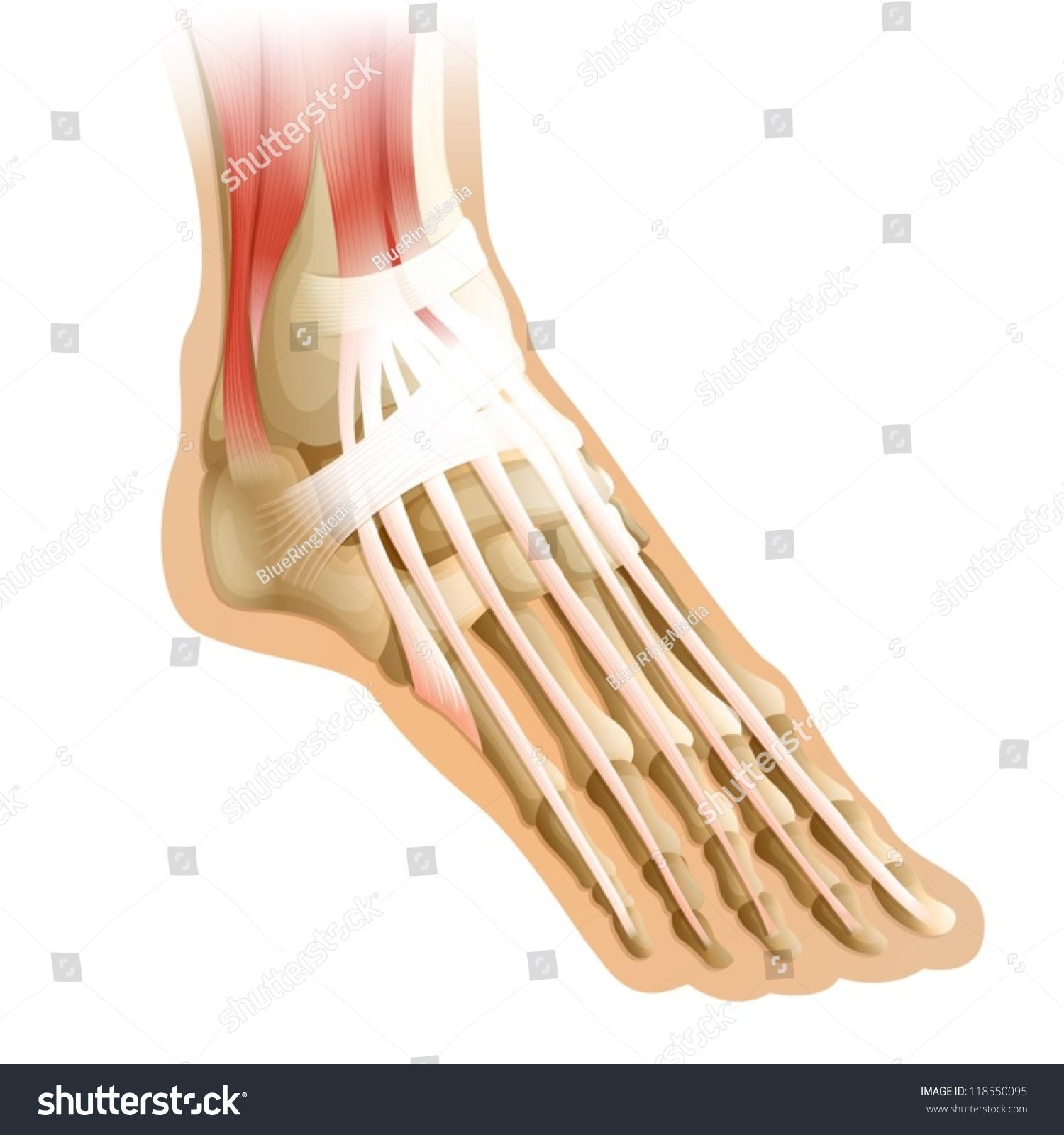 Diagram Human Foot Connective Tissue Stock Vector 2018 118550095