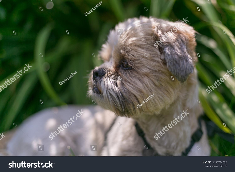 Shitzu Shih Tzu Dog Cute Sweet Stock Photo Edit Now 1185734530