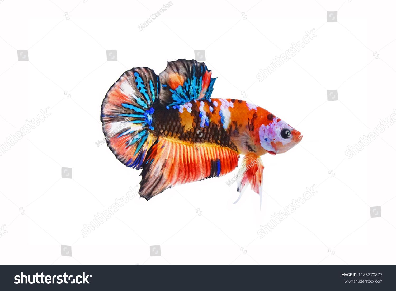 Fighting Fish Betta Fish Multicolor Siamese Stock Photo Edit Now 1185870877