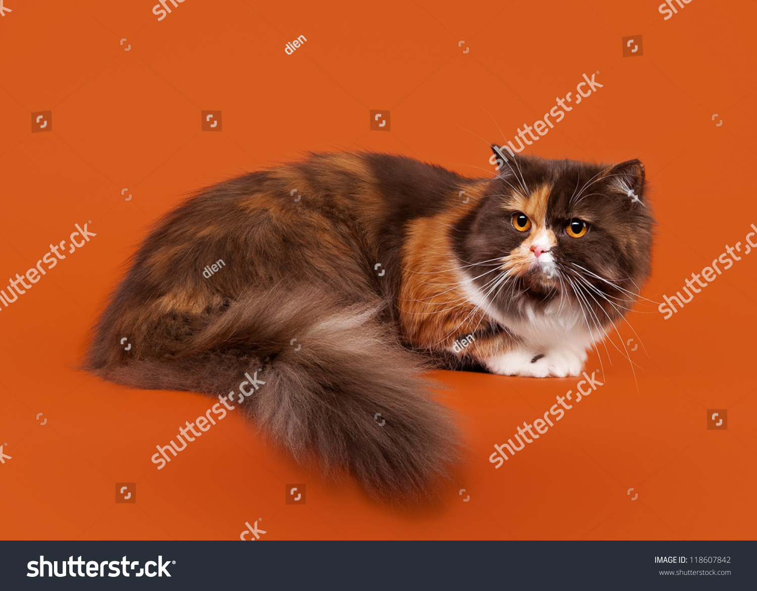 Tortoise scottish highland cat on nuts stock photo 118607842 tortoise scottish highland cat on nuts background publicscrutiny Image collections