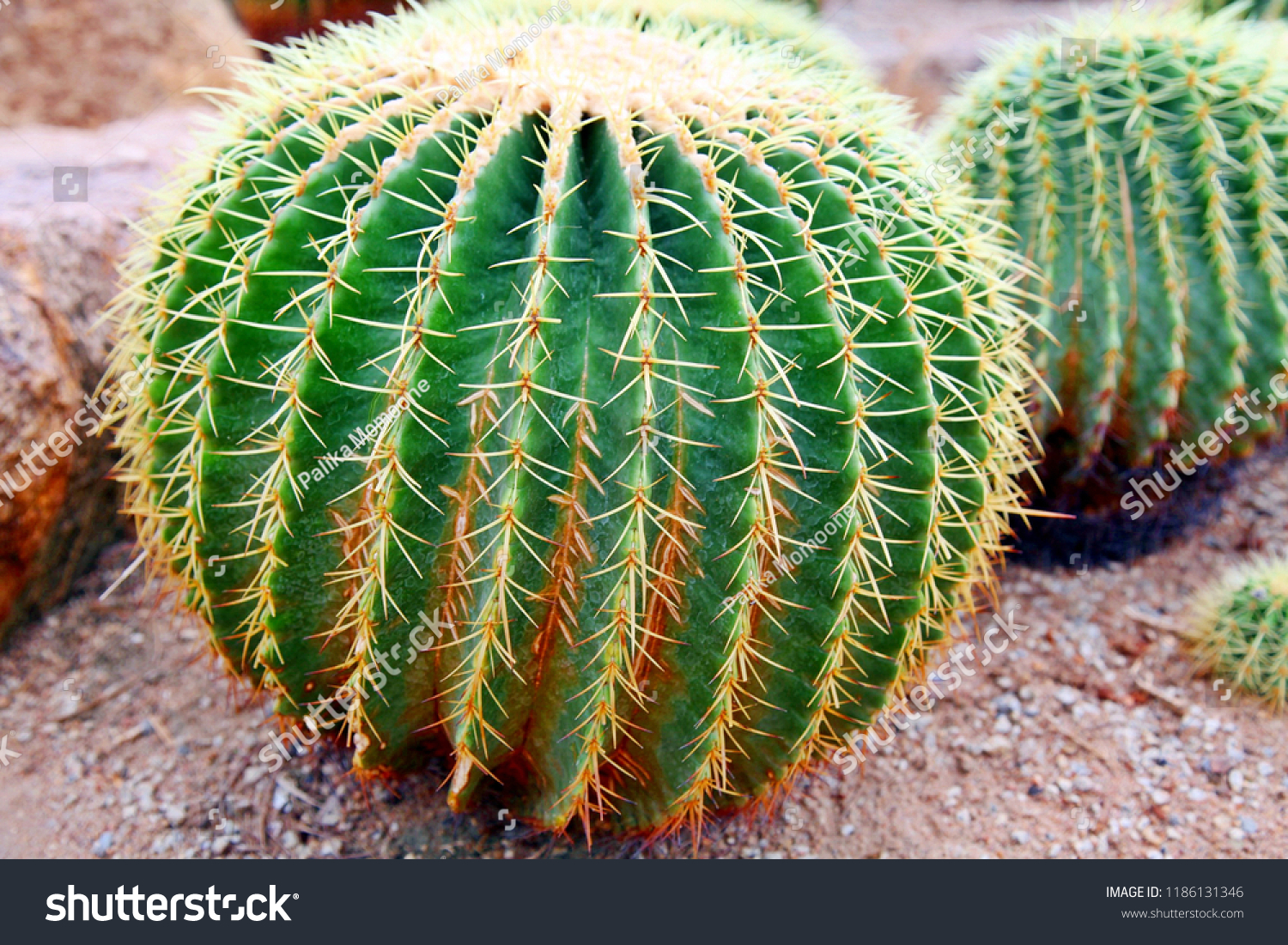 Golden Barrel Cactus Cactusplants Desert Plants Stock Photo Edit