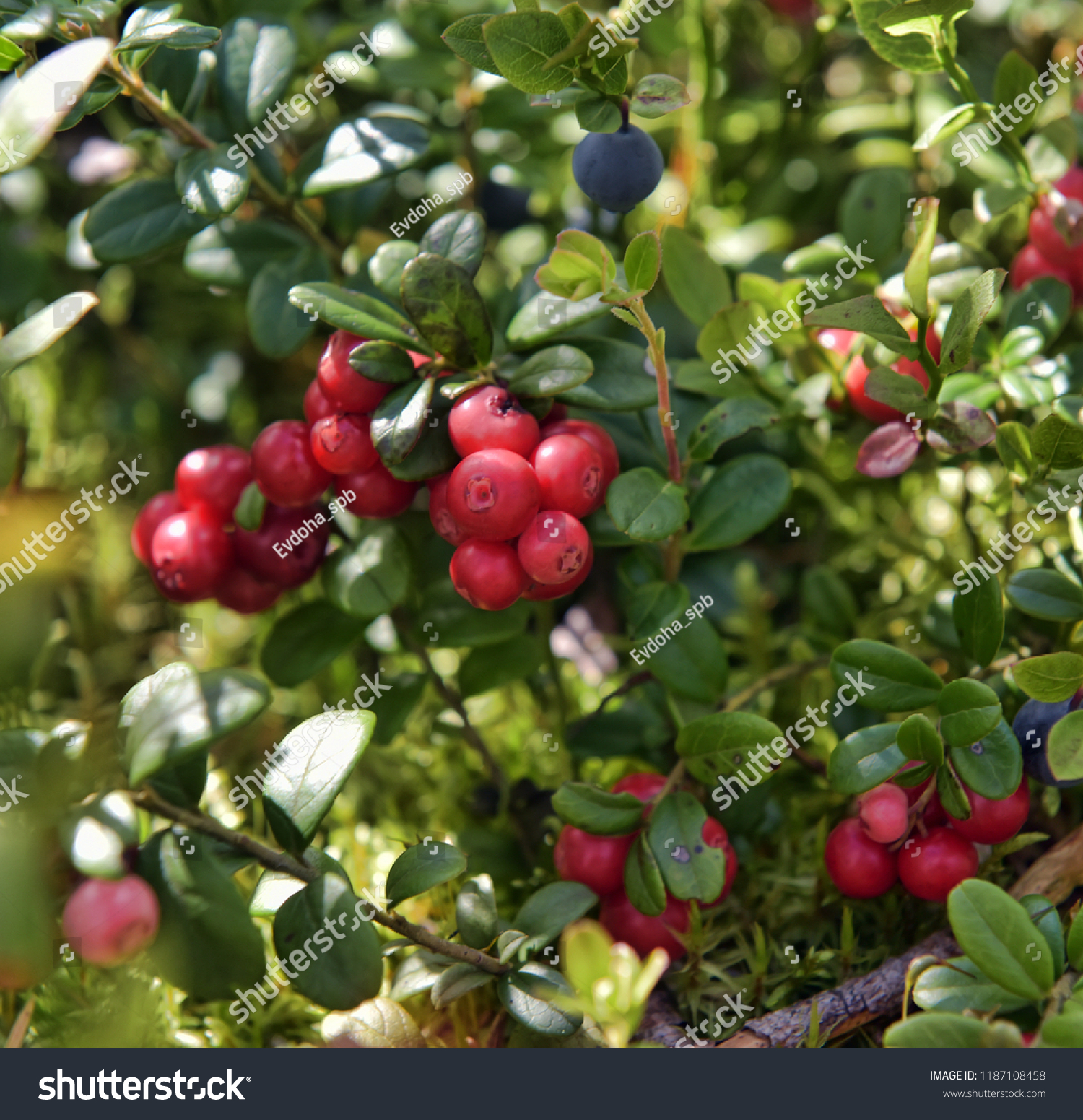Cowberry Shrub Ripe Red Cowberries Stock Photo Edit Now 32