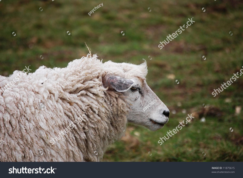 Sheep Profile Stock Photo 11875615 - Shutterstock