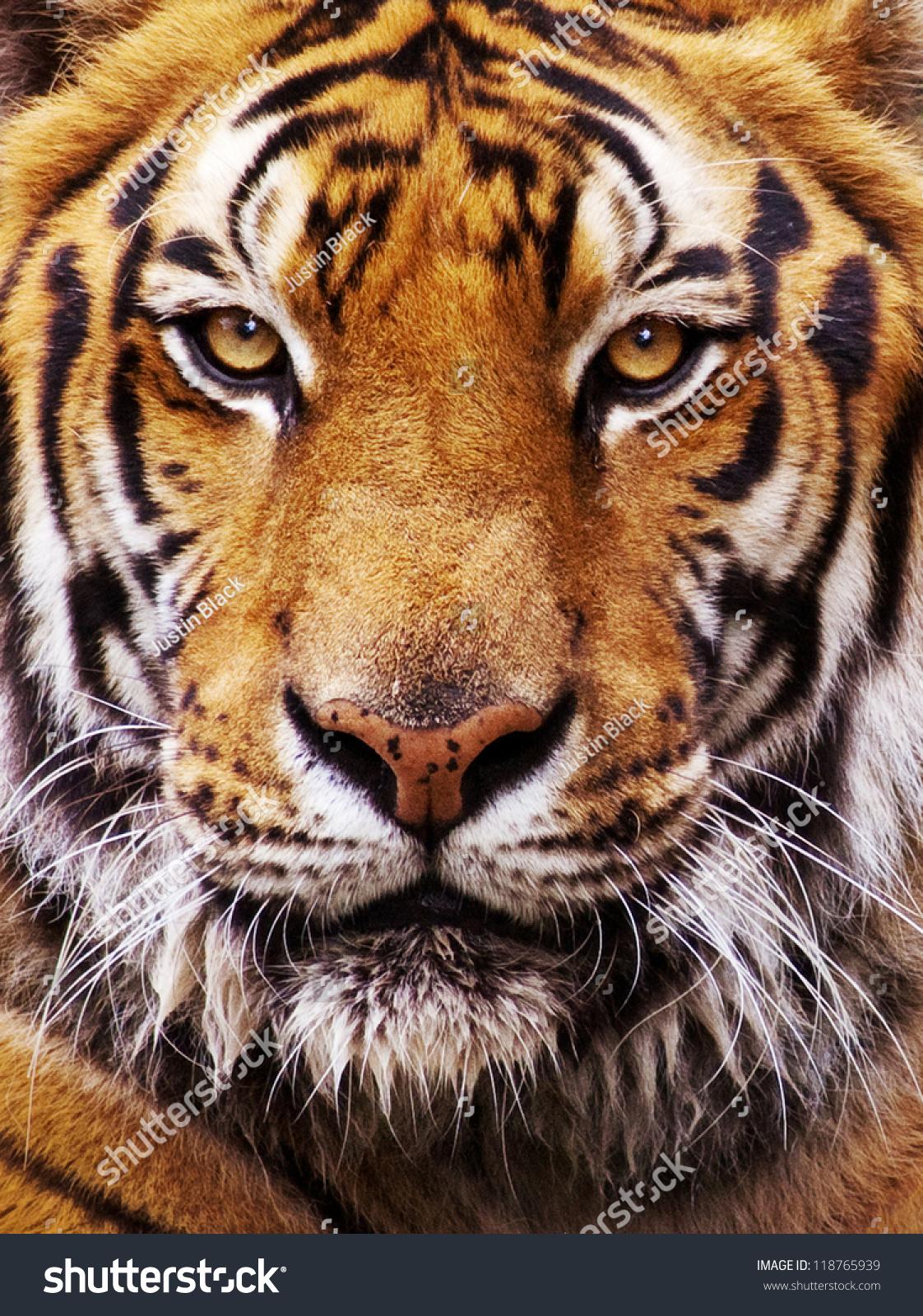 A Close Up Of Bad Makeup: Closeup Tigers Face Stock Photo 118765939