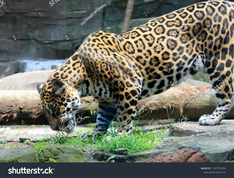 Leophard On Secret Zoo Batu Malang Stock Photo Edit Now 1187755204