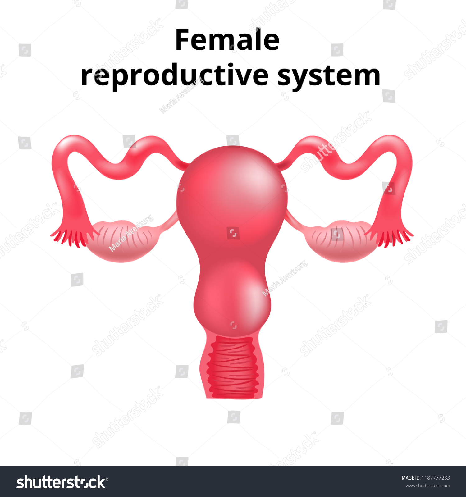Illustration Female Reproductive System Human Anatomy Stock