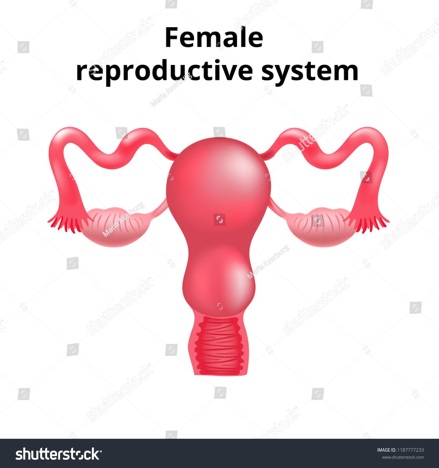 Illustration Female Reproductive System Human Anatomy Stock