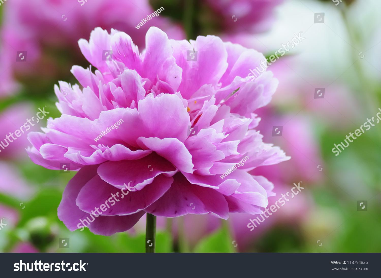 Beautiful Pink Hydrangea Flowers Ez Canvas