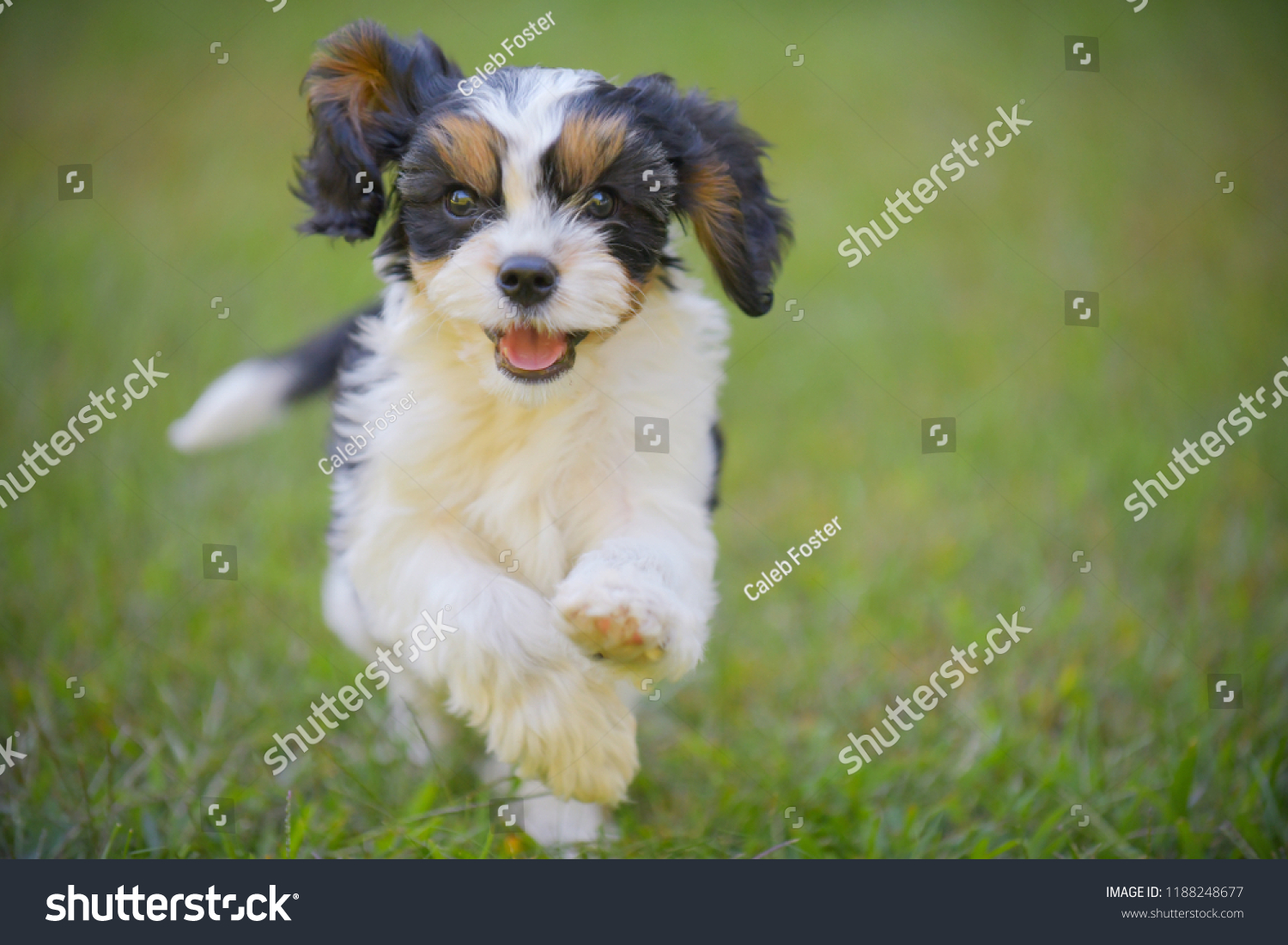 Cute Cavalier King Charles Spaniel Puppy Stock Photo Edit Now 1188248677