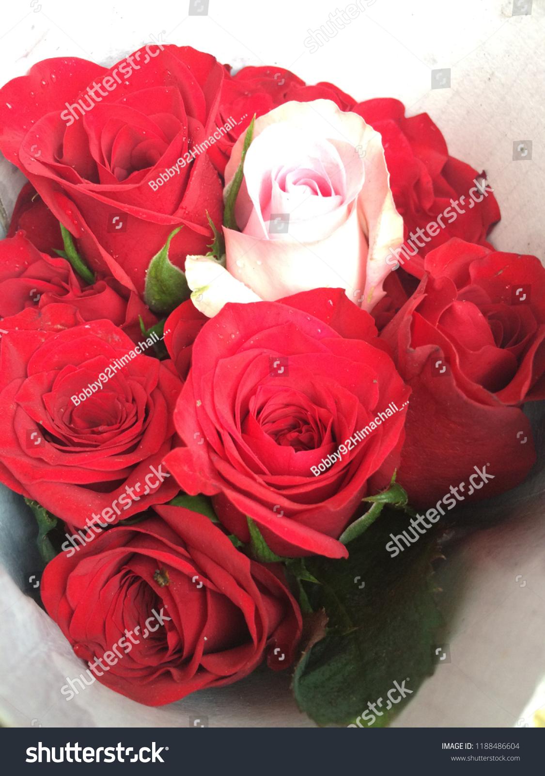 Beautiful Roses Hd Closeup Beautiful Rose Stock Photo Edit Now