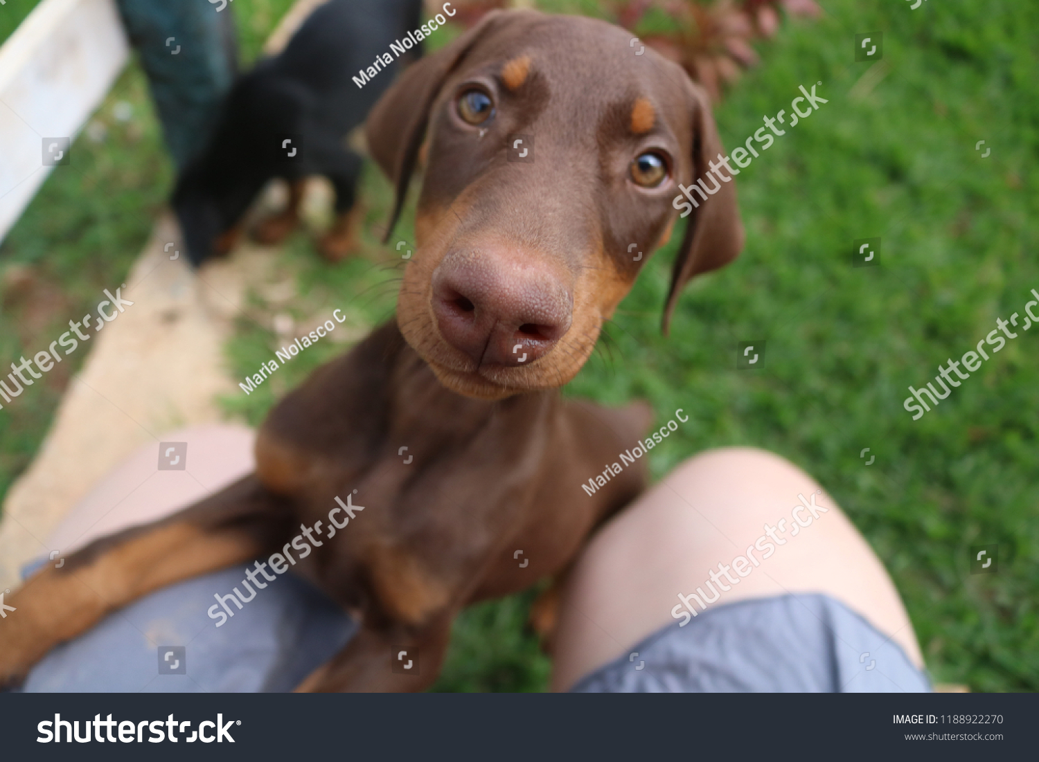 Baby Dobermans Super Cute Puppies Stock Photo Edit Now 1188922270