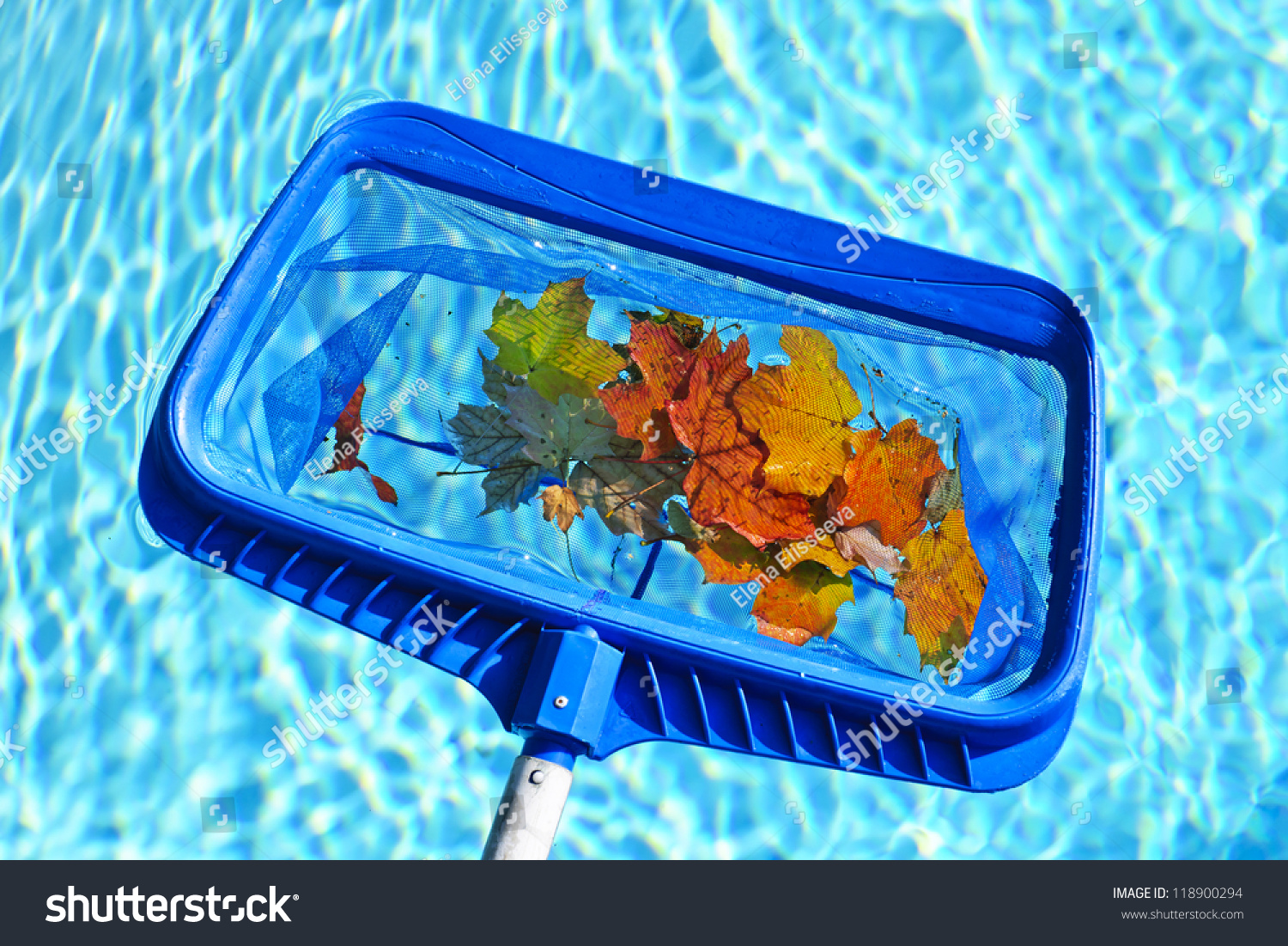 Cleaning Swimming Pool Of Fall Leaves With Blue Skimmer