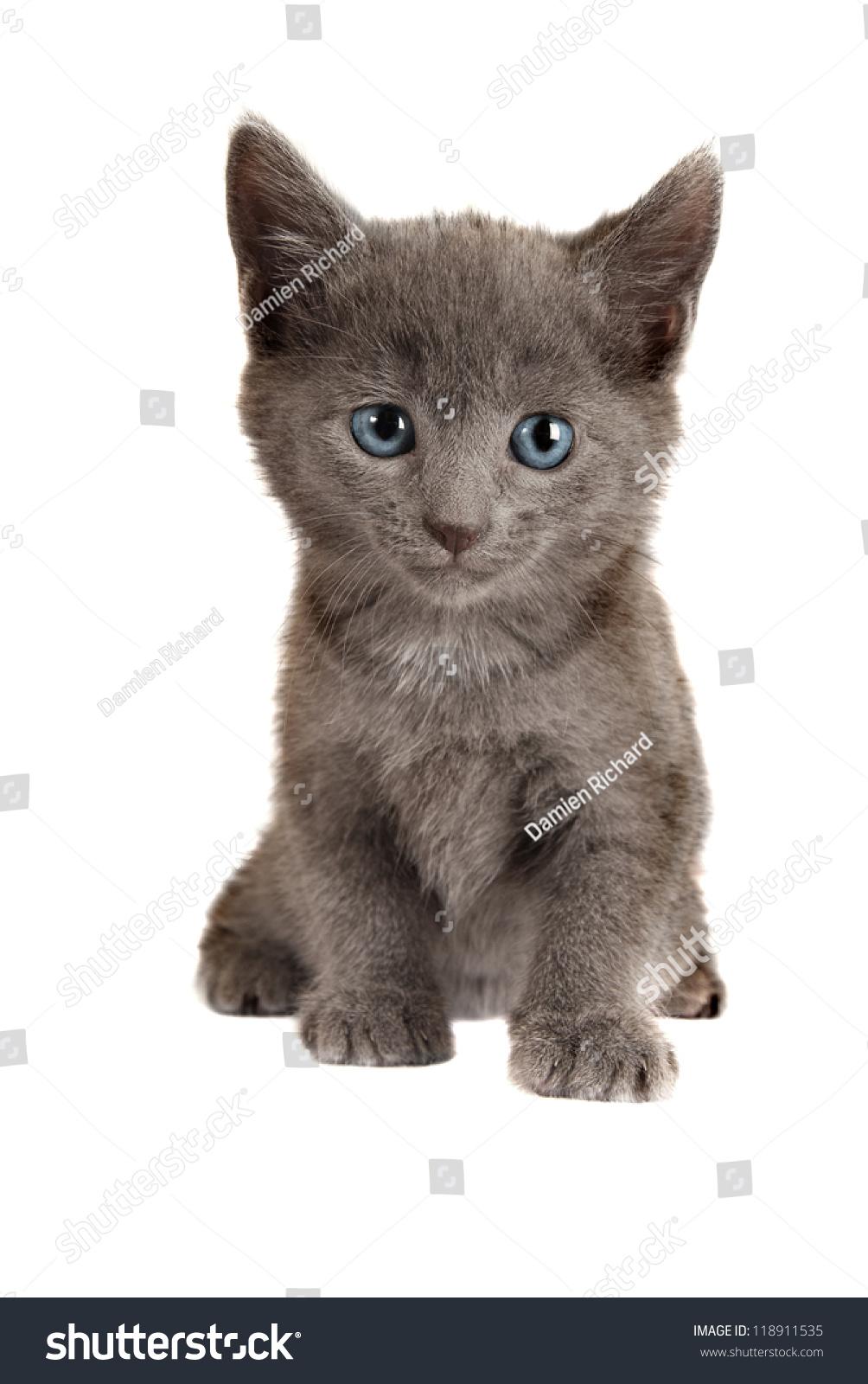 Gray Kitten Blue Eyes Sitting Stock Shutterstock