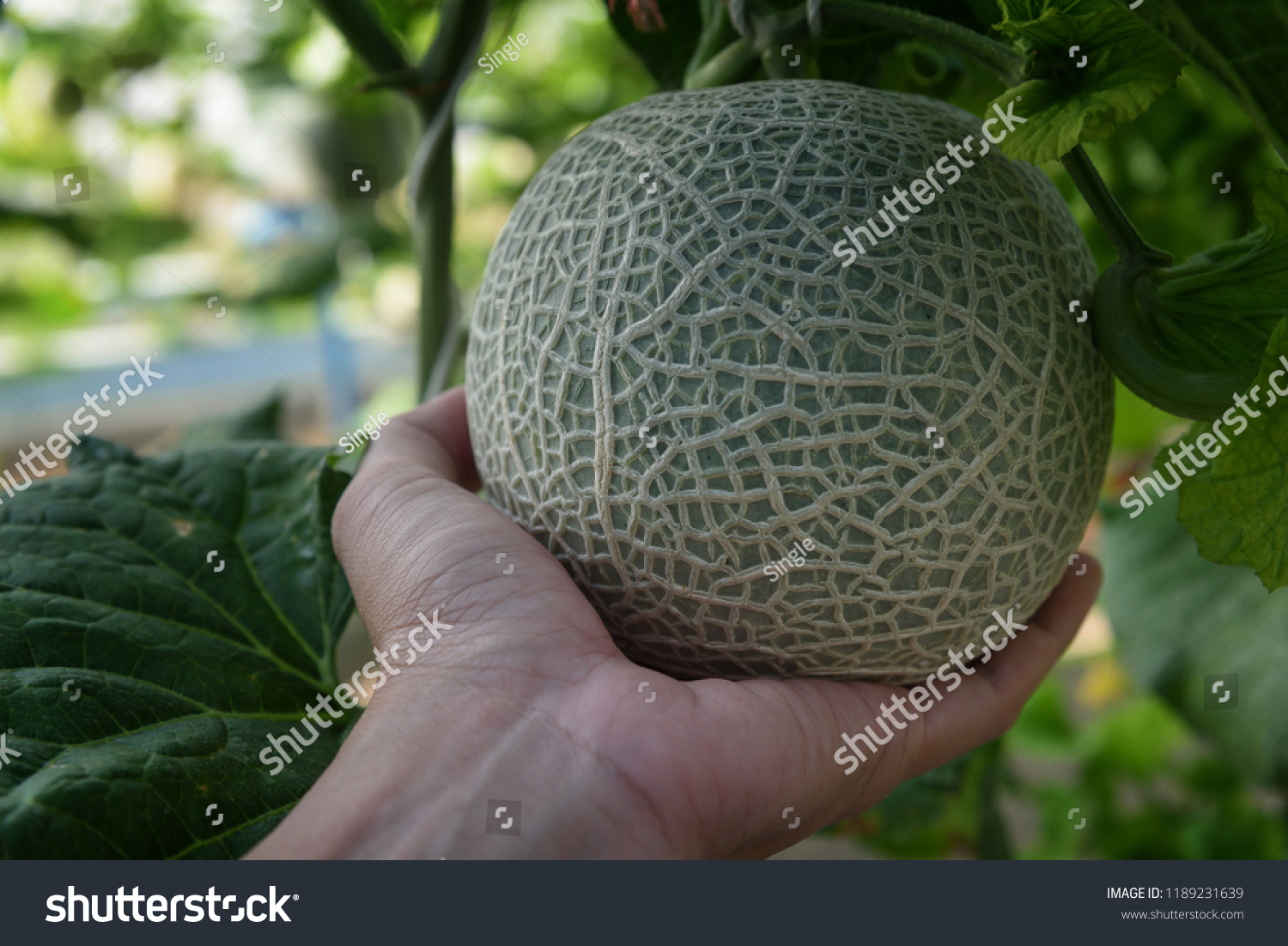 Hand Holding Melons Green Melons Cantaloupe Stock Photo Edit Now 1189231639 One biologist performing a necropsy on a dead bear found a whole. shutterstock
