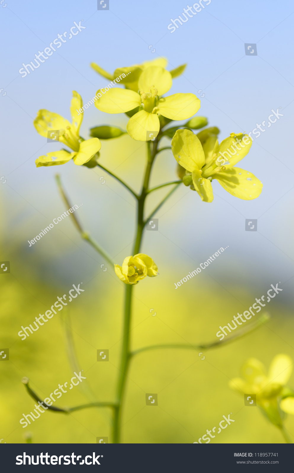 Little Yellow Flowers Four Petals Brassica Stock Photo Royalty Free