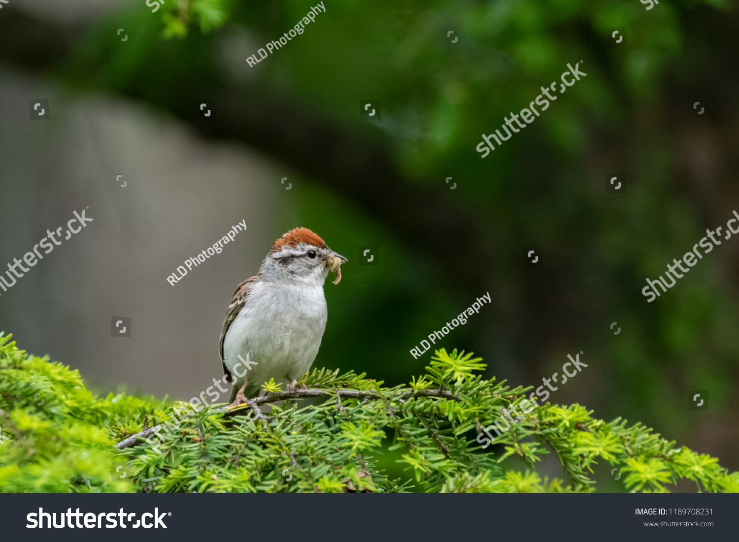 An image of a brown sparrow perched on an evergreen branch overlooking a field at the edge of a forest with a freshly caught breakfast caterpillar in its beak.