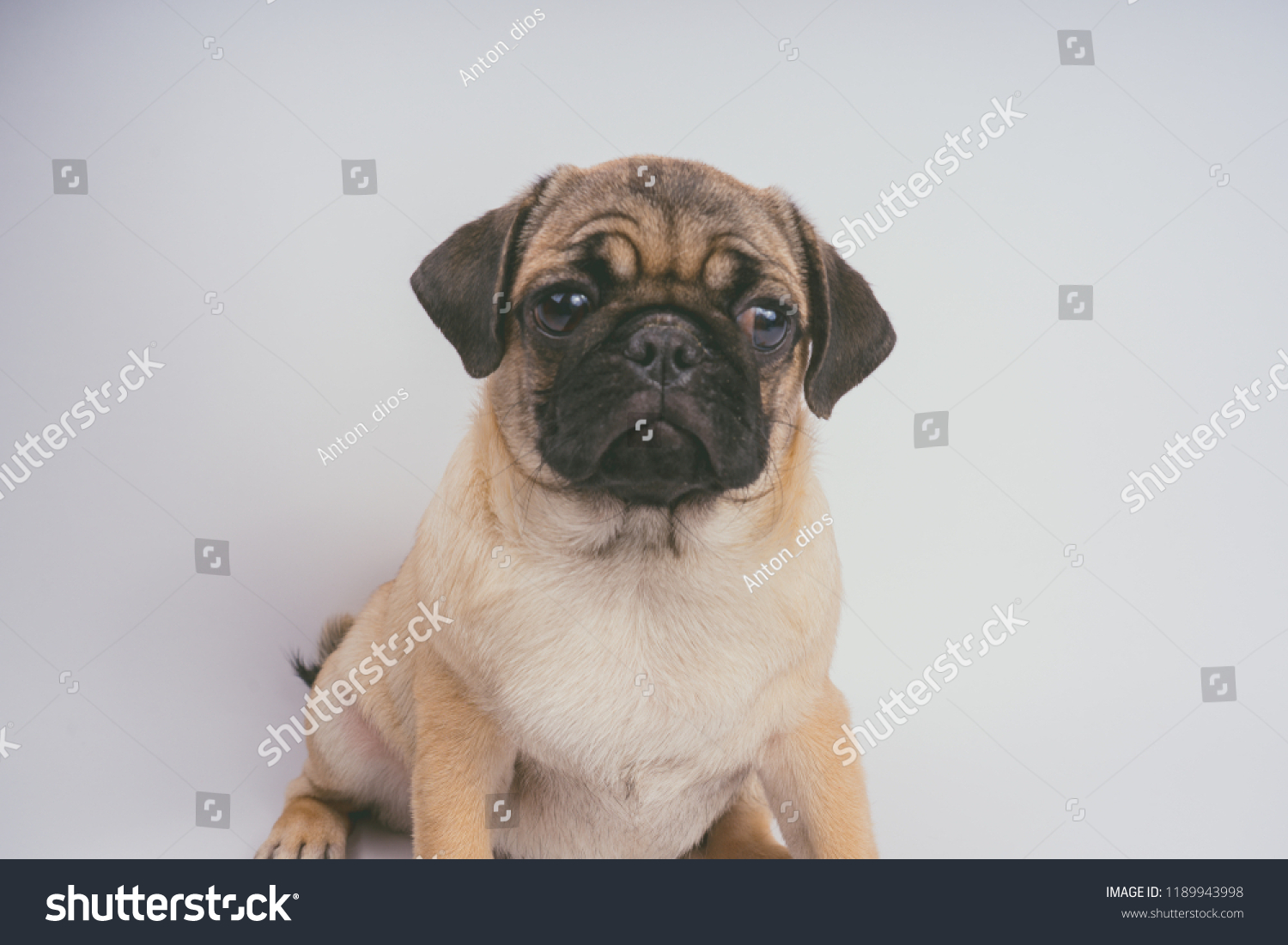 Funny Pug Puppy On White Background Stock Photo Edit Now 1189943998