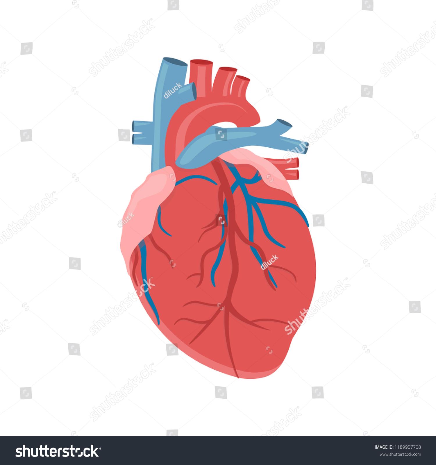 menschen innere organe