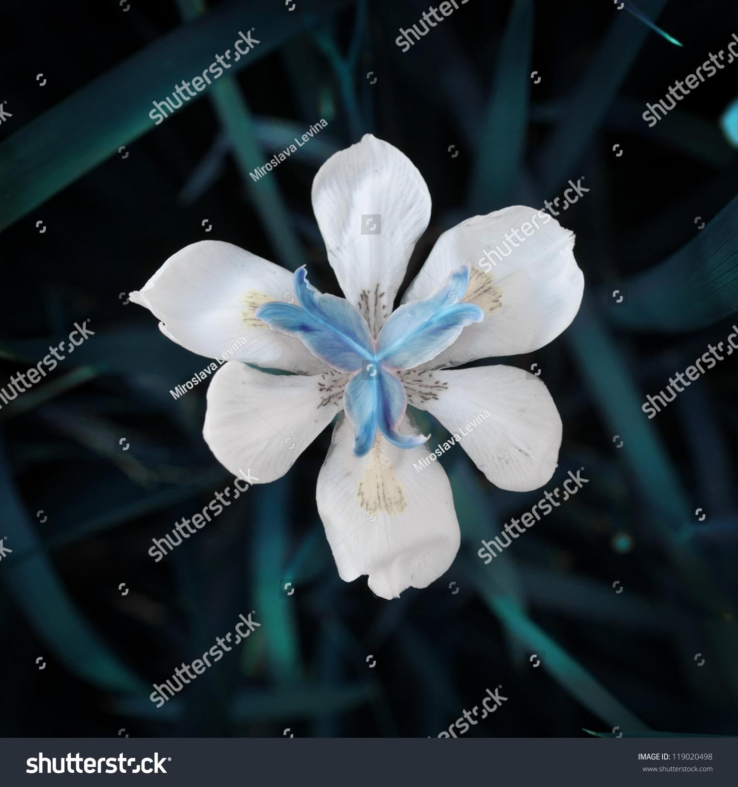 White Iris Flower Grass Stock Photo Royalty Free 119020498