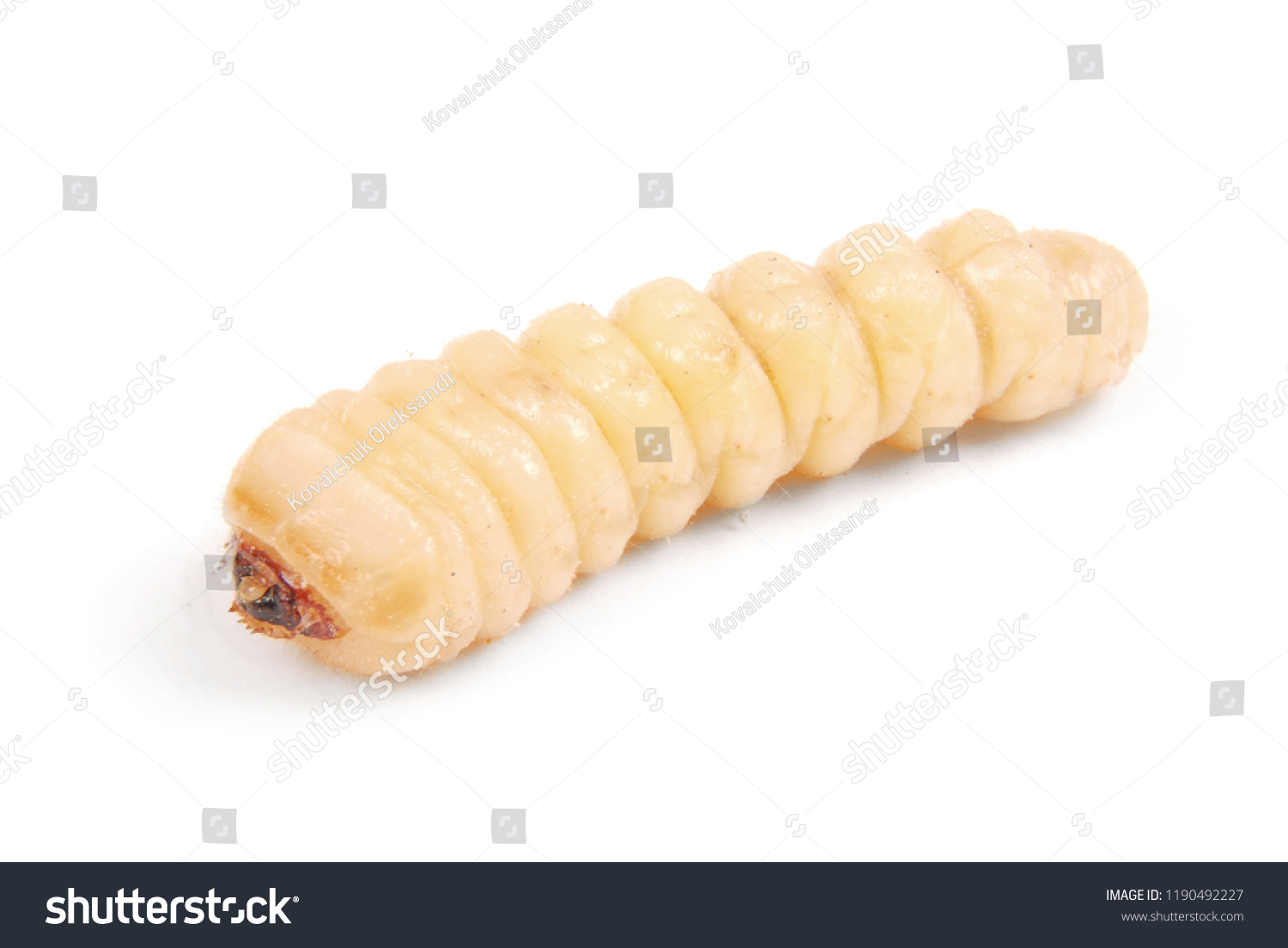 Larva bark beetle (Scolytinae). Larva of Bark beetles legless isolated on white background. #1190492227