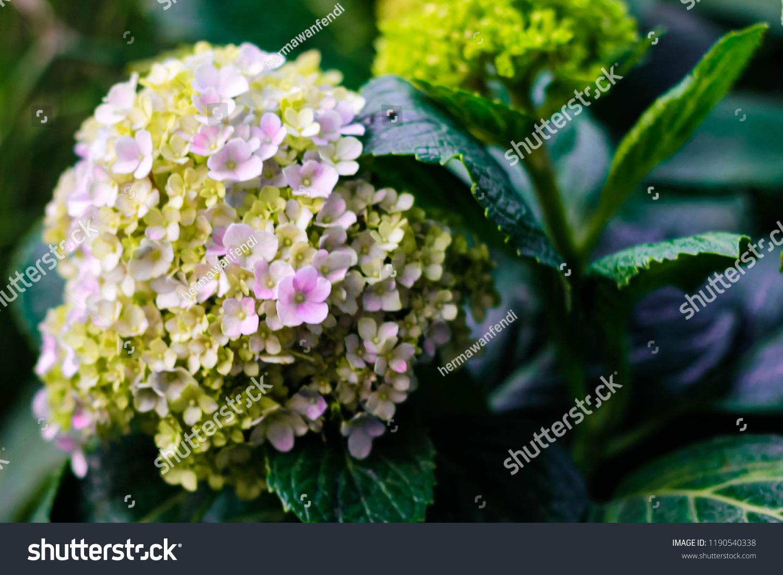 Pancawarna Flower Latin Name Hydrangea Macrophylla Stock Photo Edit Now 1190540338