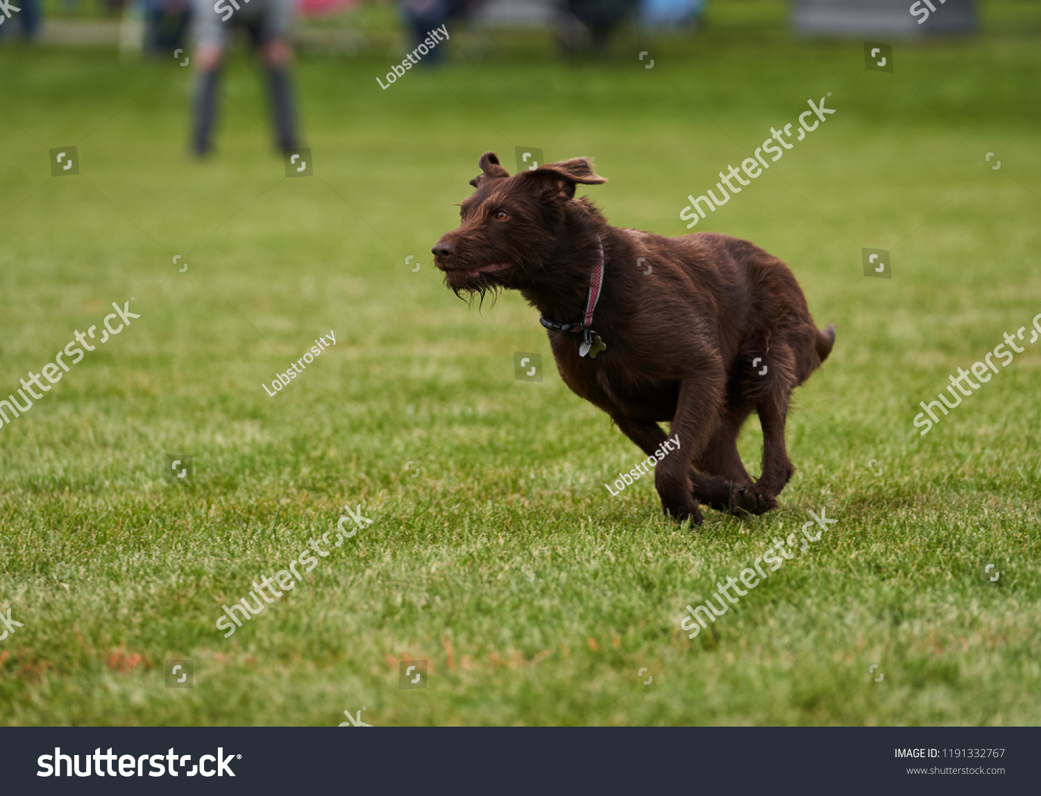 German Wirehaired Pointer Chocolate Lab Running Stock Photo Edit