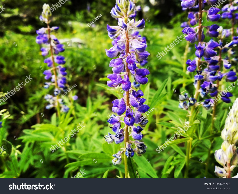 Purple White Mountain Flowers Stock Photo Edit Now 1191451021