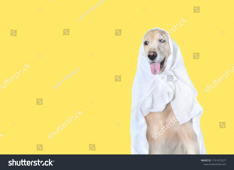 cute golden retriever dog halloween costume stock photo (edit now