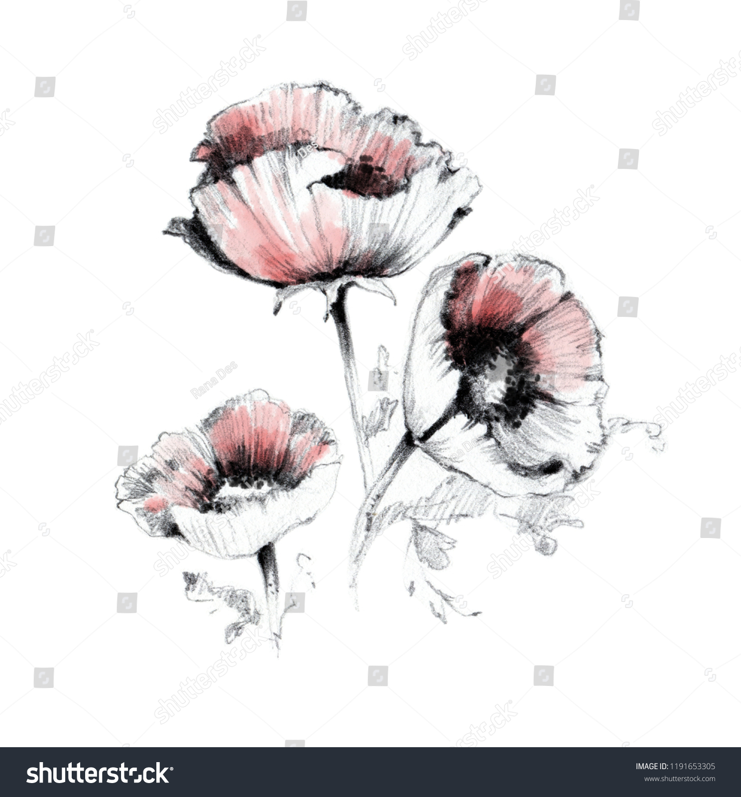 9b0879e86a8 Poppy flowers pencil with watercolor drawing sketch on paper. Botanical  floral illustration on white background