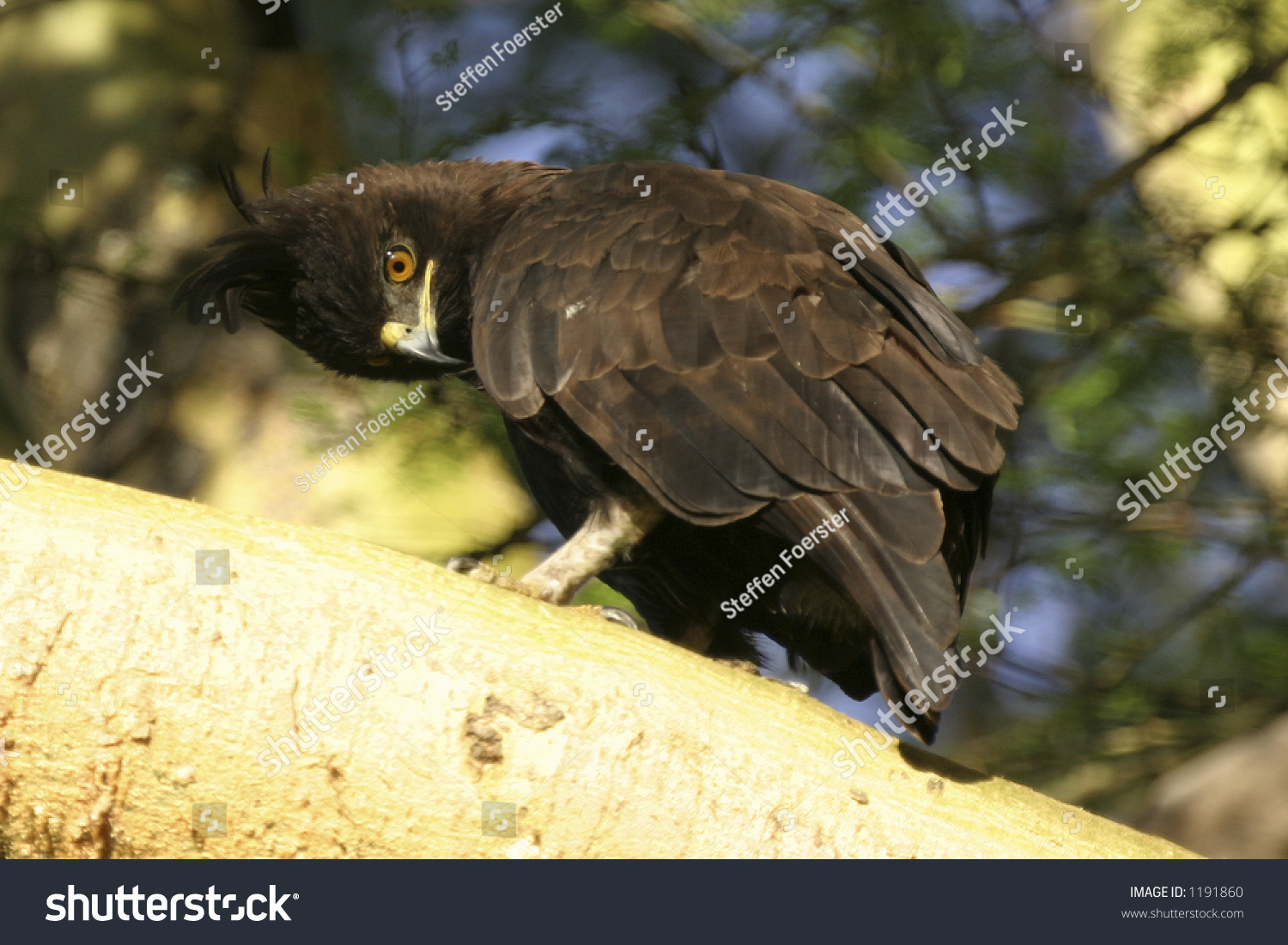 Longcrested Hawkeagle Stock Photo 1191860 Shutterstock