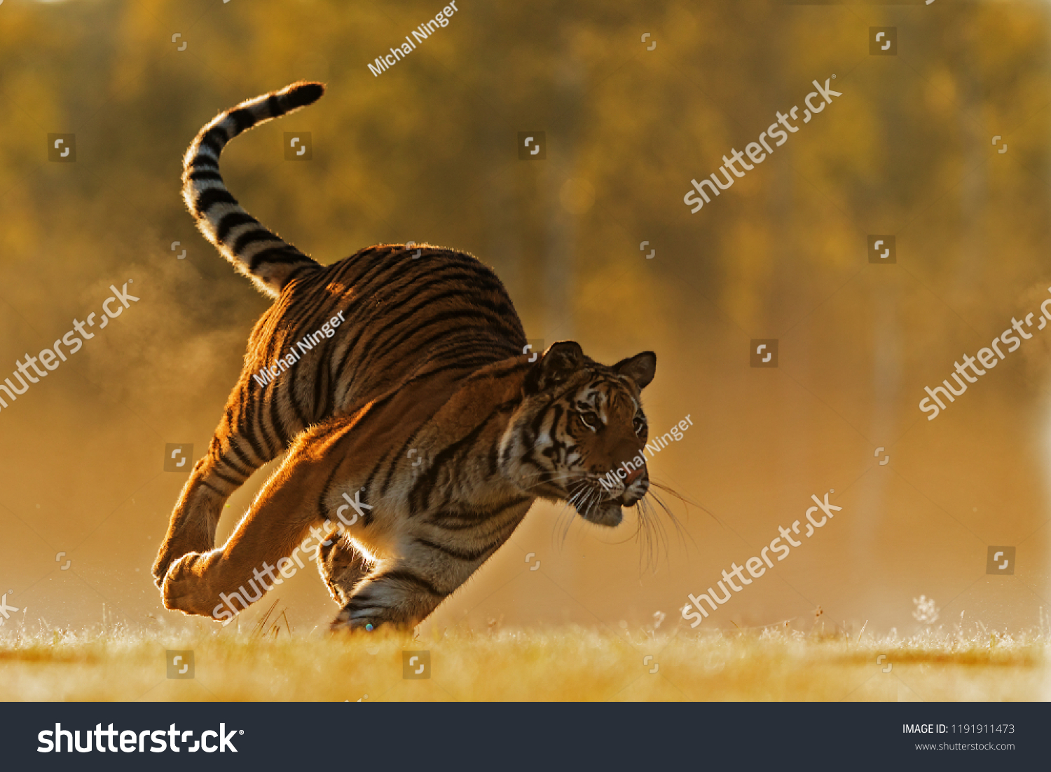 stock-photo-siberian-tiger-panthera-tigr