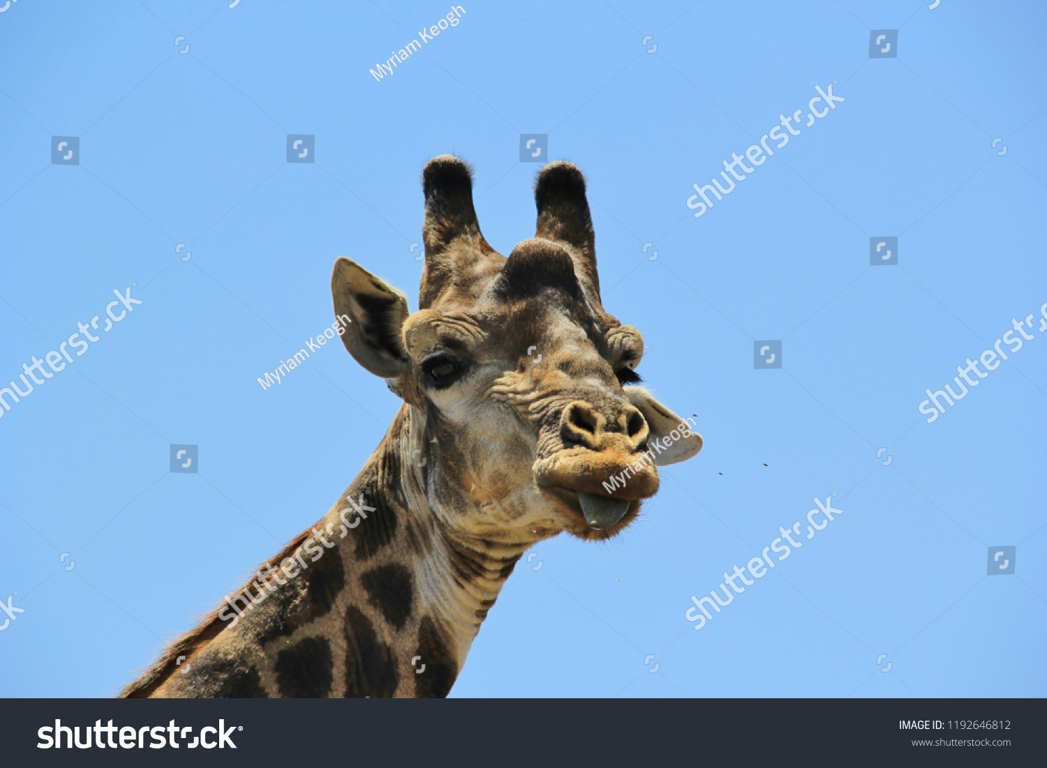 Frontal picture of the face of a giraffe with its tongue hanging out looking into the camera, Kruger Park, South Africa