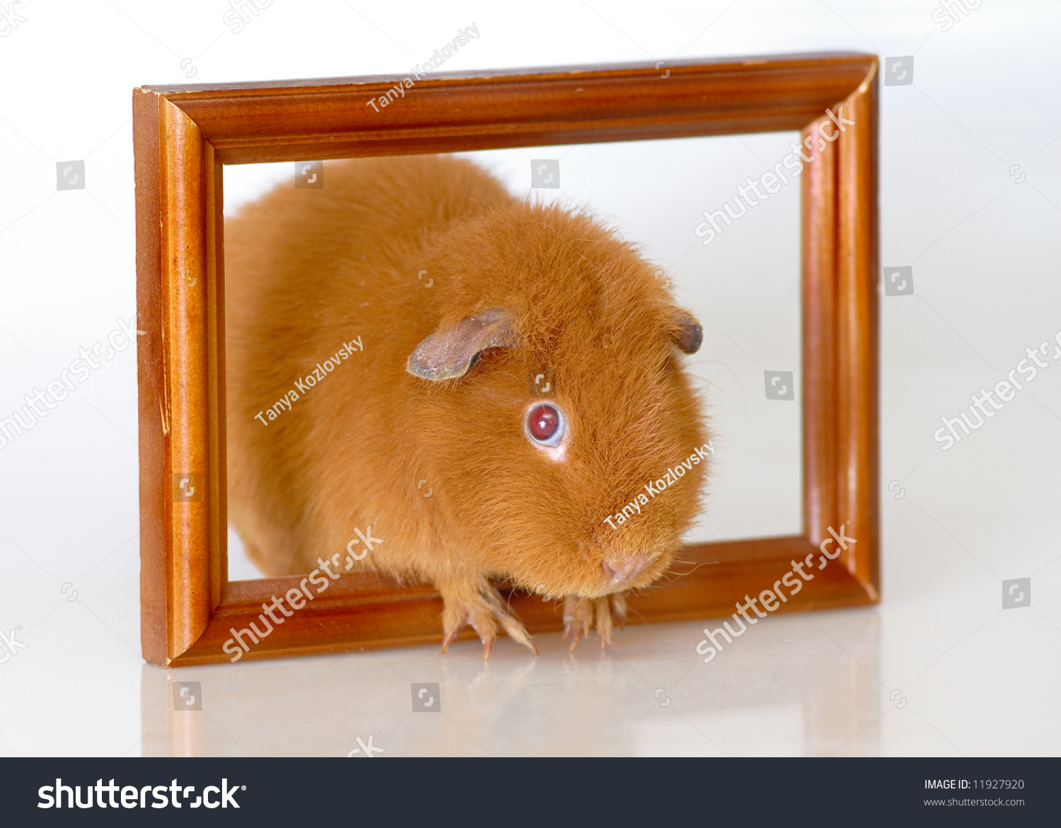 Red guinea pig frame stock photo 11927920 shutterstock red guinea pig with frame jeuxipadfo Gallery