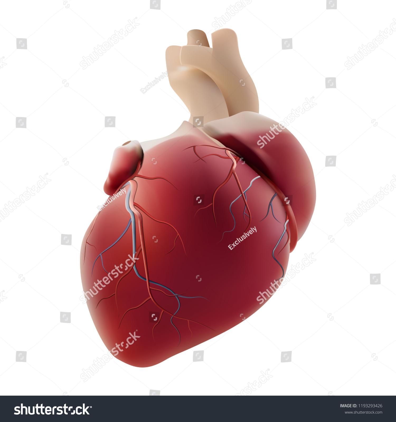 Realistic Heart Photorealistic Vector Layout Of A Human Organ Ez