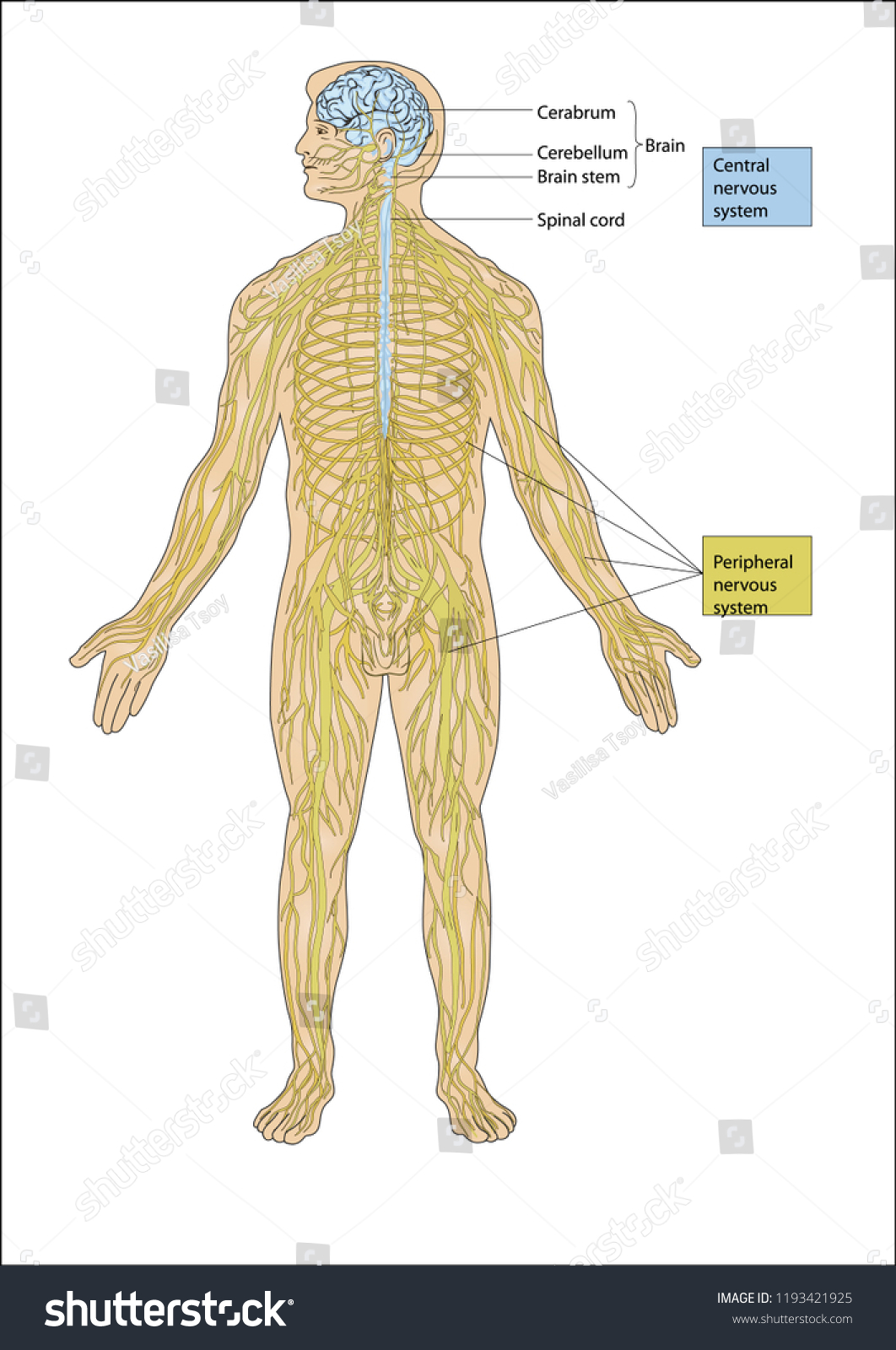 Illustration Human Figure Consisting Brain Spine Stock Vektorgrafik