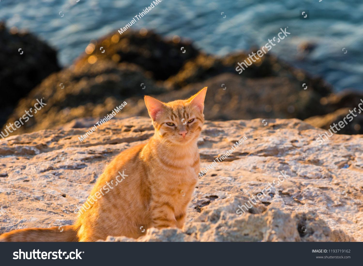 Orange cat on a cliff by the sea