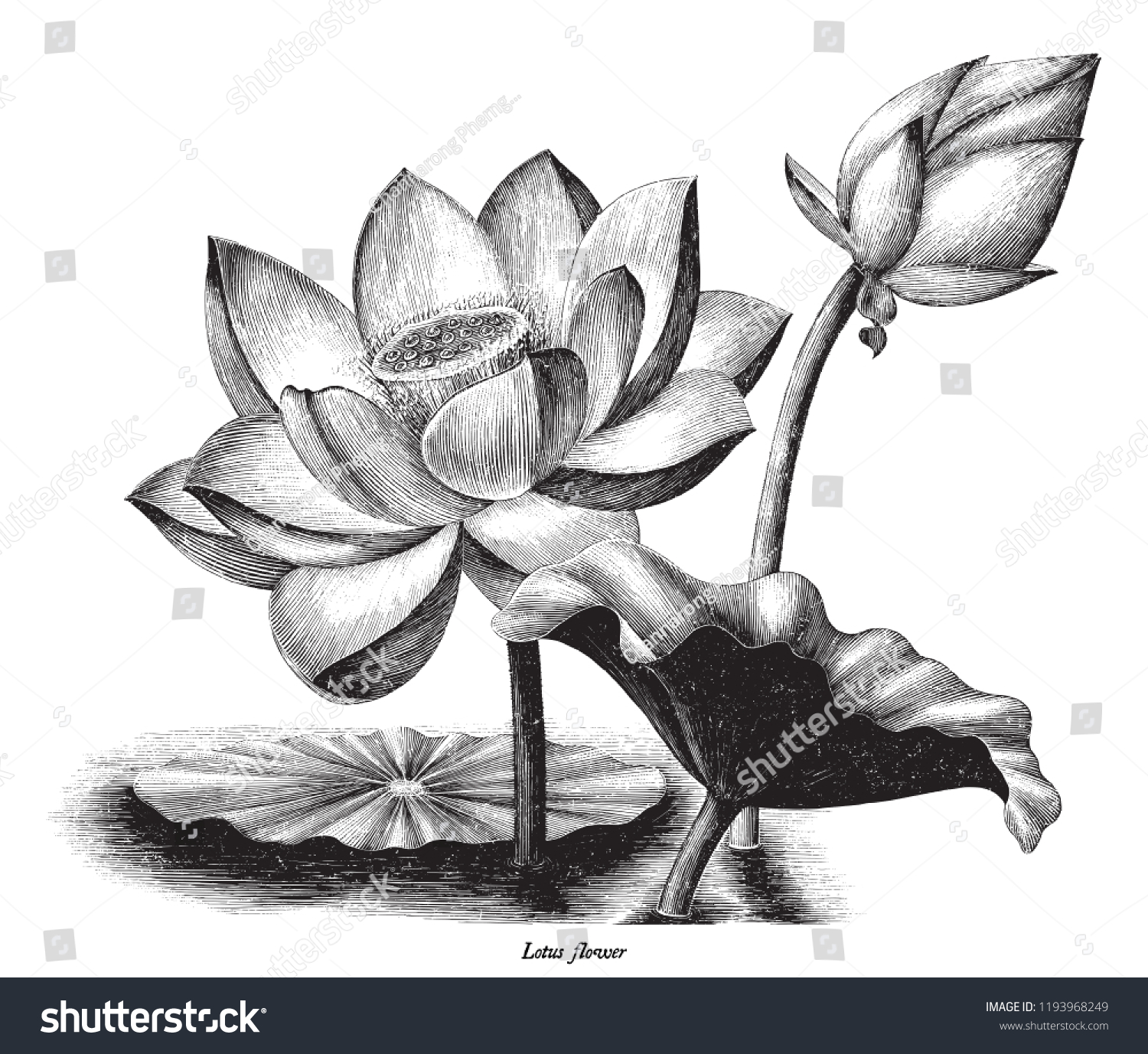 Lotus Flower Botanical Vintage Engraving Illustration Stock Vector