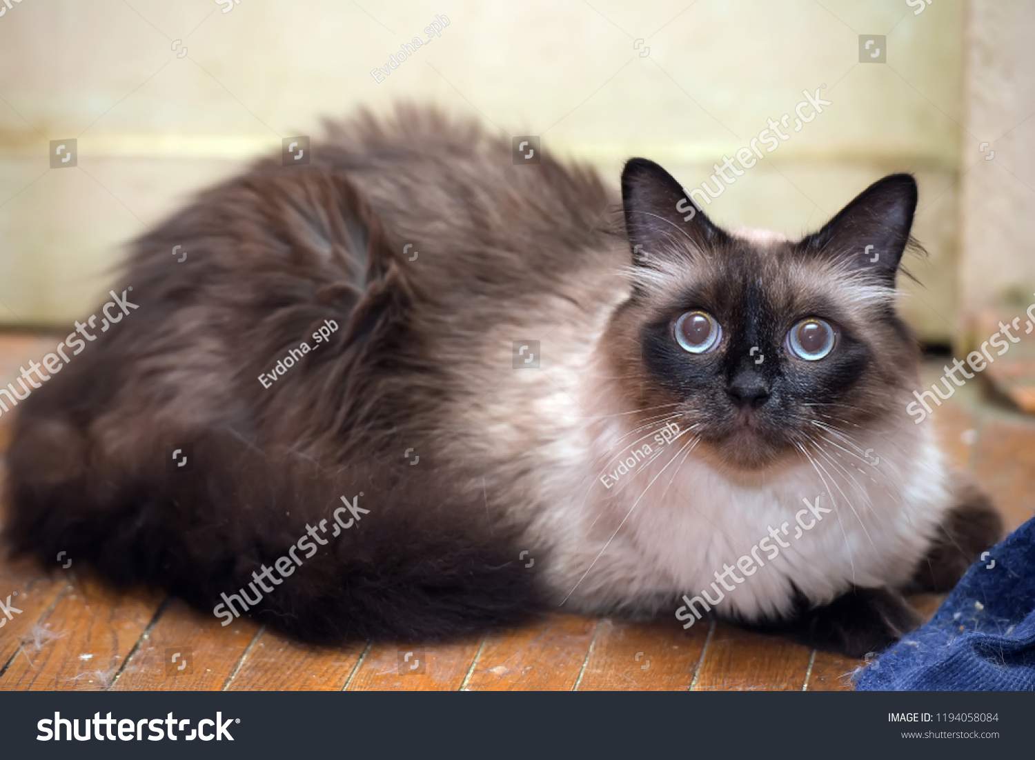 a beautiful Neva Masquerade cat. It is a subspecies of the Siberian cat. #1194058084