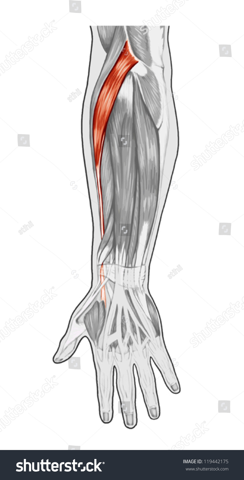 Anatomy Muscular System Hand Forearm Palm Stock Vector 119442175 ...