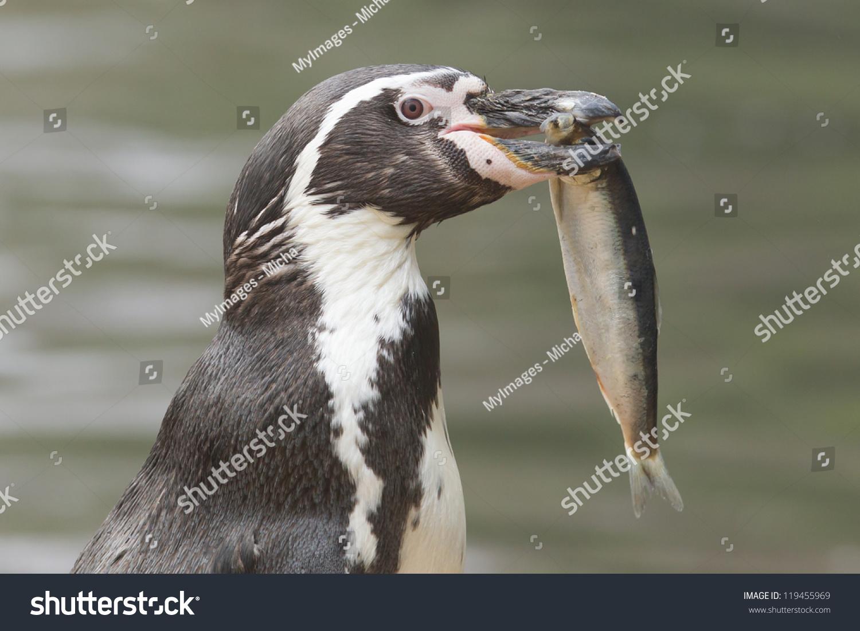 Penguin Eating Large Fish Isolated Stock Photo 119455969 ...