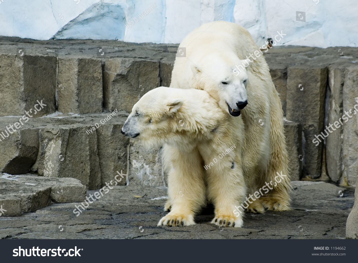 polar bear couple - photo #25
