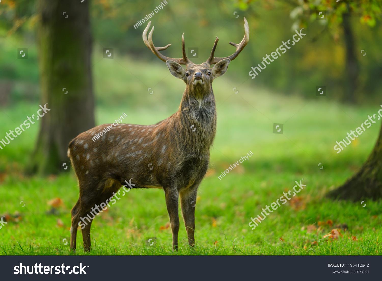 Hokkaido Sika Deer Cervus Nippon Yesoensis Stock Photo (Edit Now