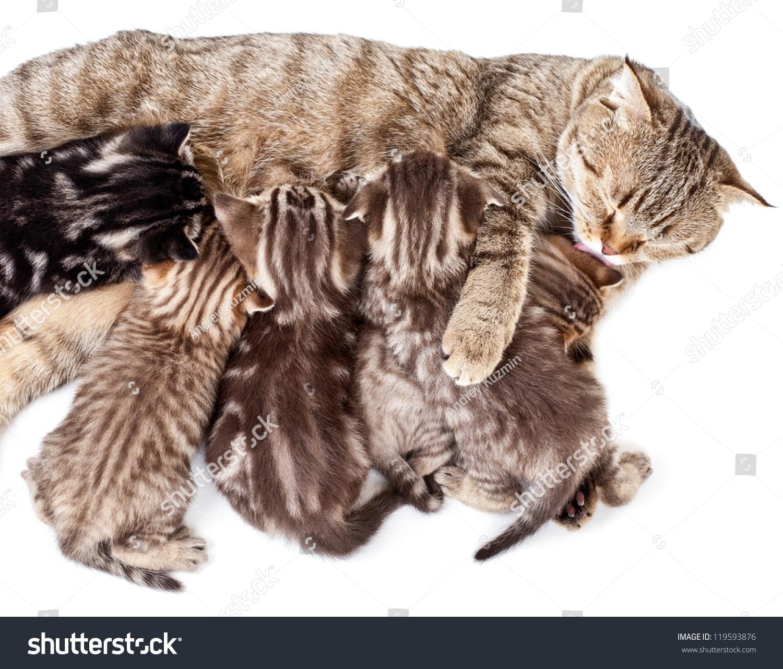 Mother Cat Feeding Baby Kittens Licking Stock