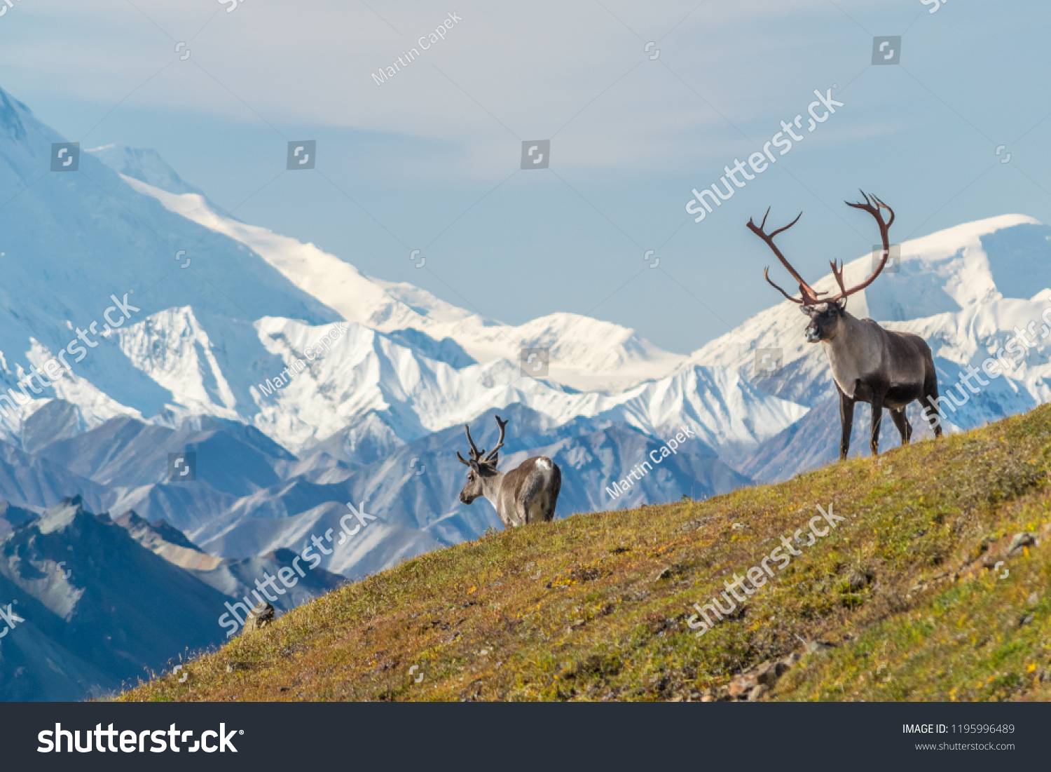 stock-photo-majestic-caribou-bull-in-fro