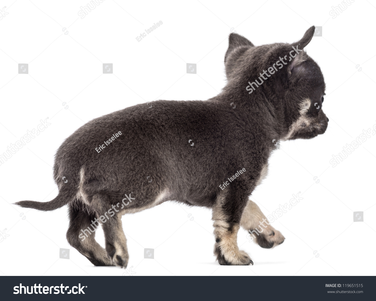 Chihuahua Puppy 7 Weeks Old Walking Away Against White Background Wolf Cihuahua Id 119651515