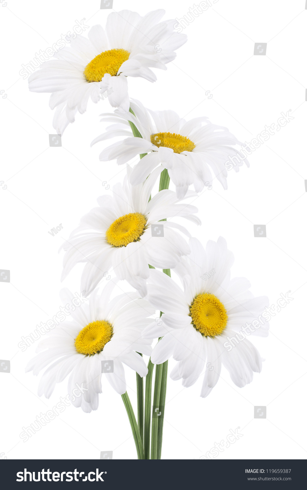 Royalty Free Studio Shot Of White Colored Daisy 119659387 Stock