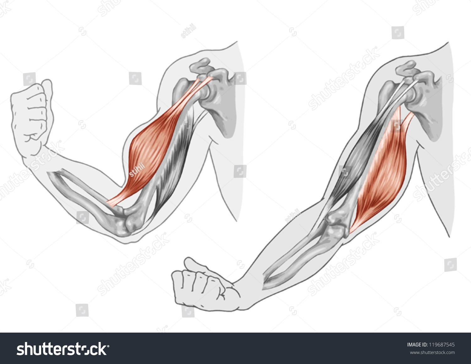 Biceps Triceps Movement Arm Hand Muscles Stock Vector ...