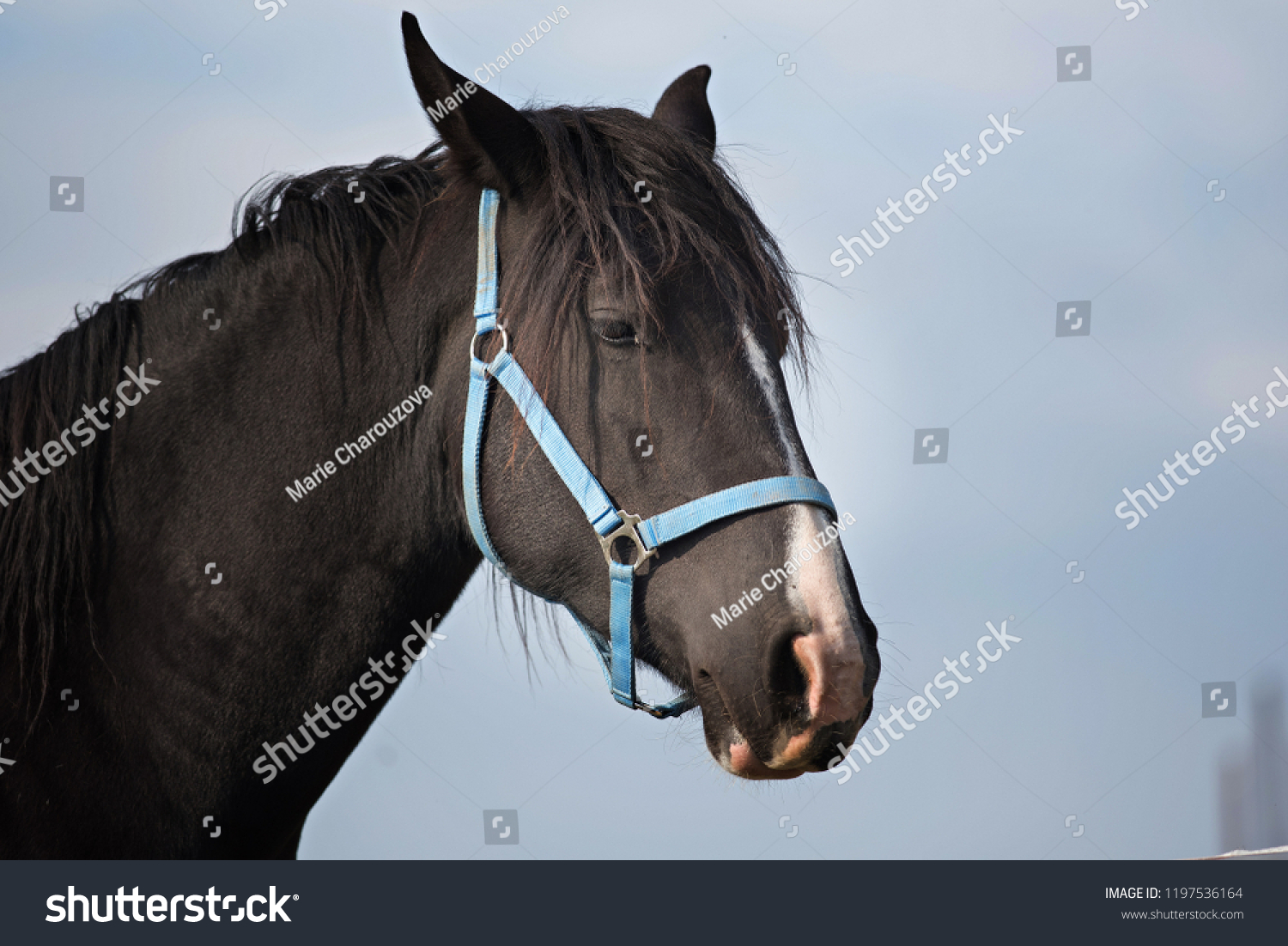 Beautiful Horse Head Stock Photo Edit Now 1197536164