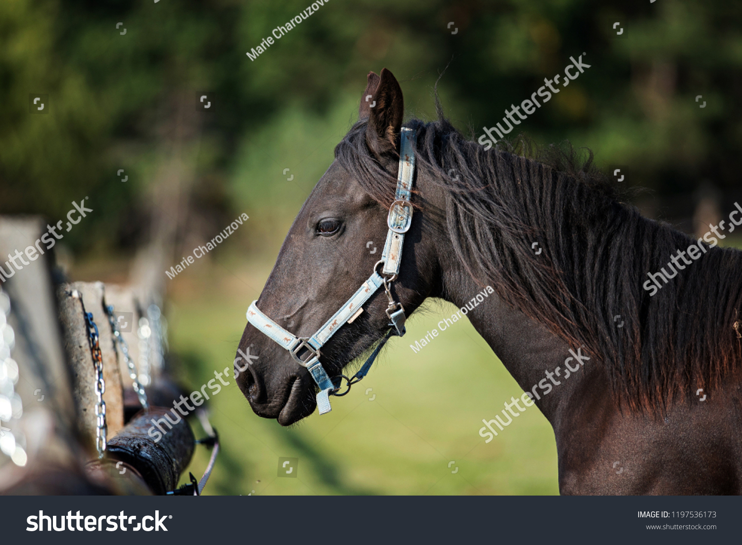 Beautiful Horse Head Stock Photo Edit Now 1197536173